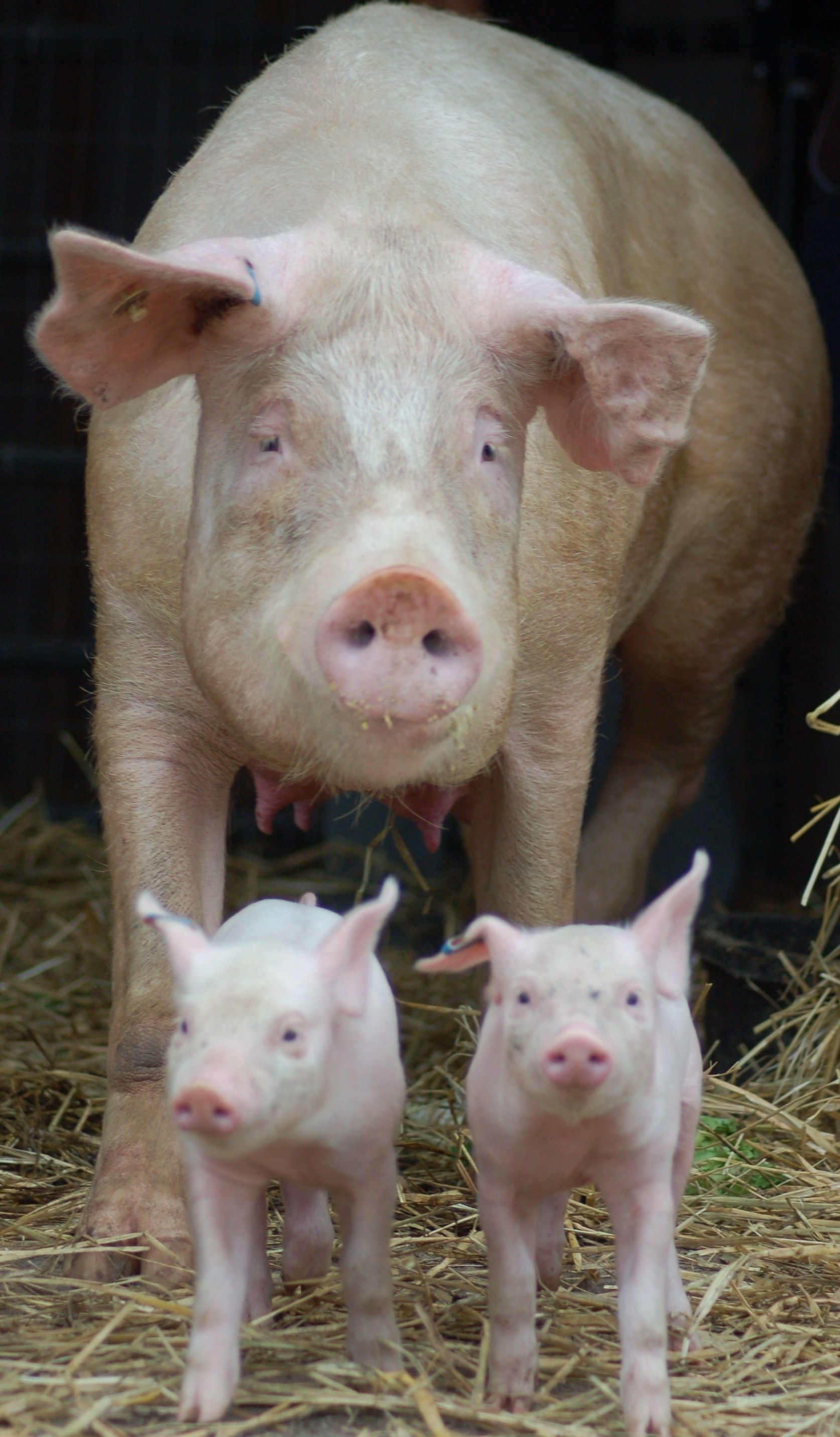a pig and her two piglets