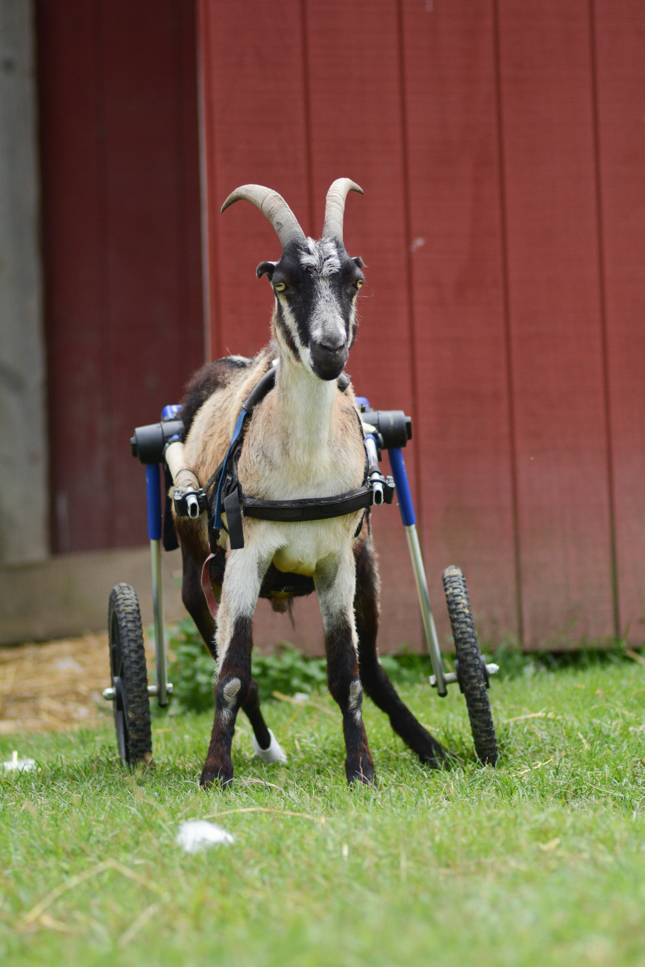 a goat in a wheelchair