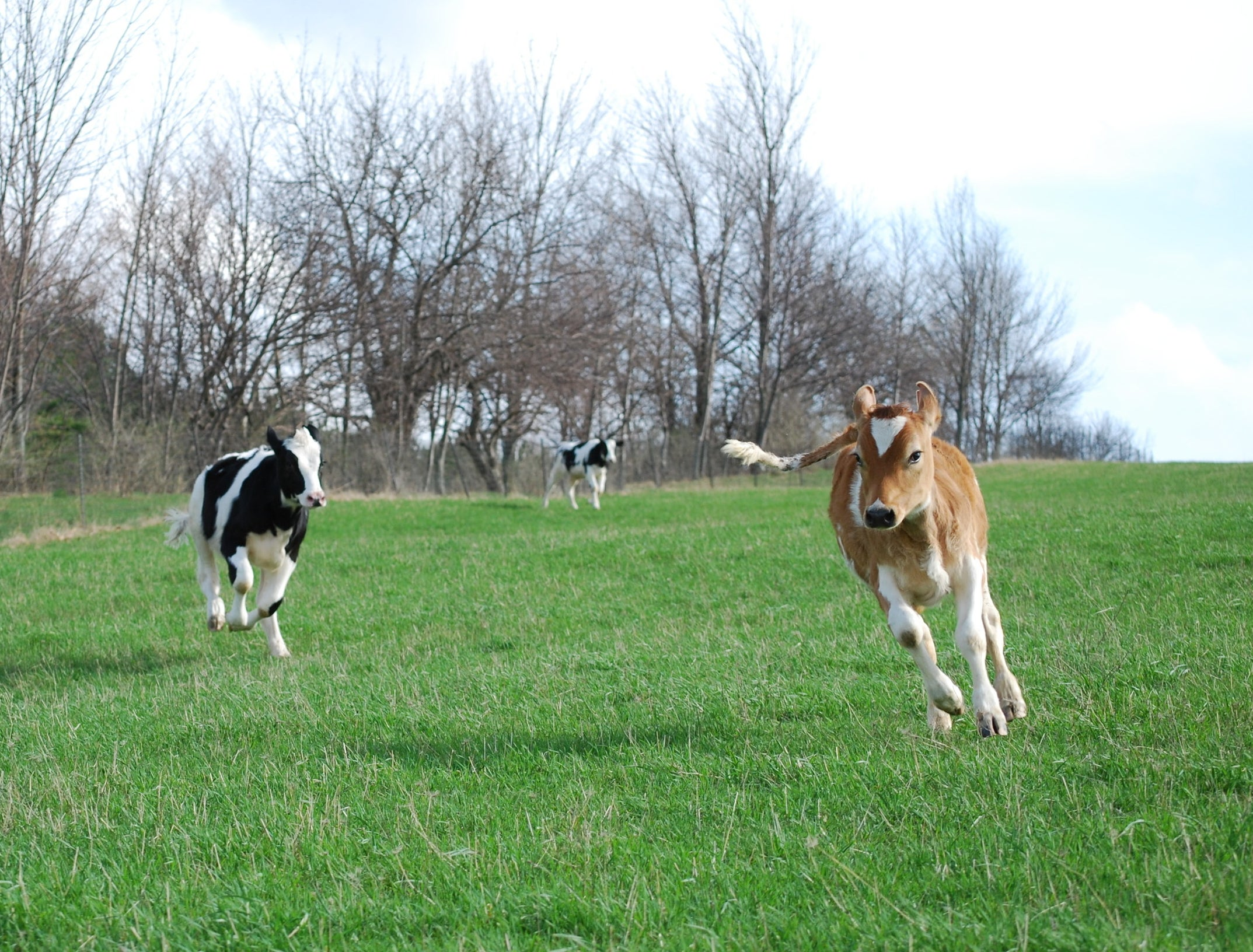 three calves running in a field