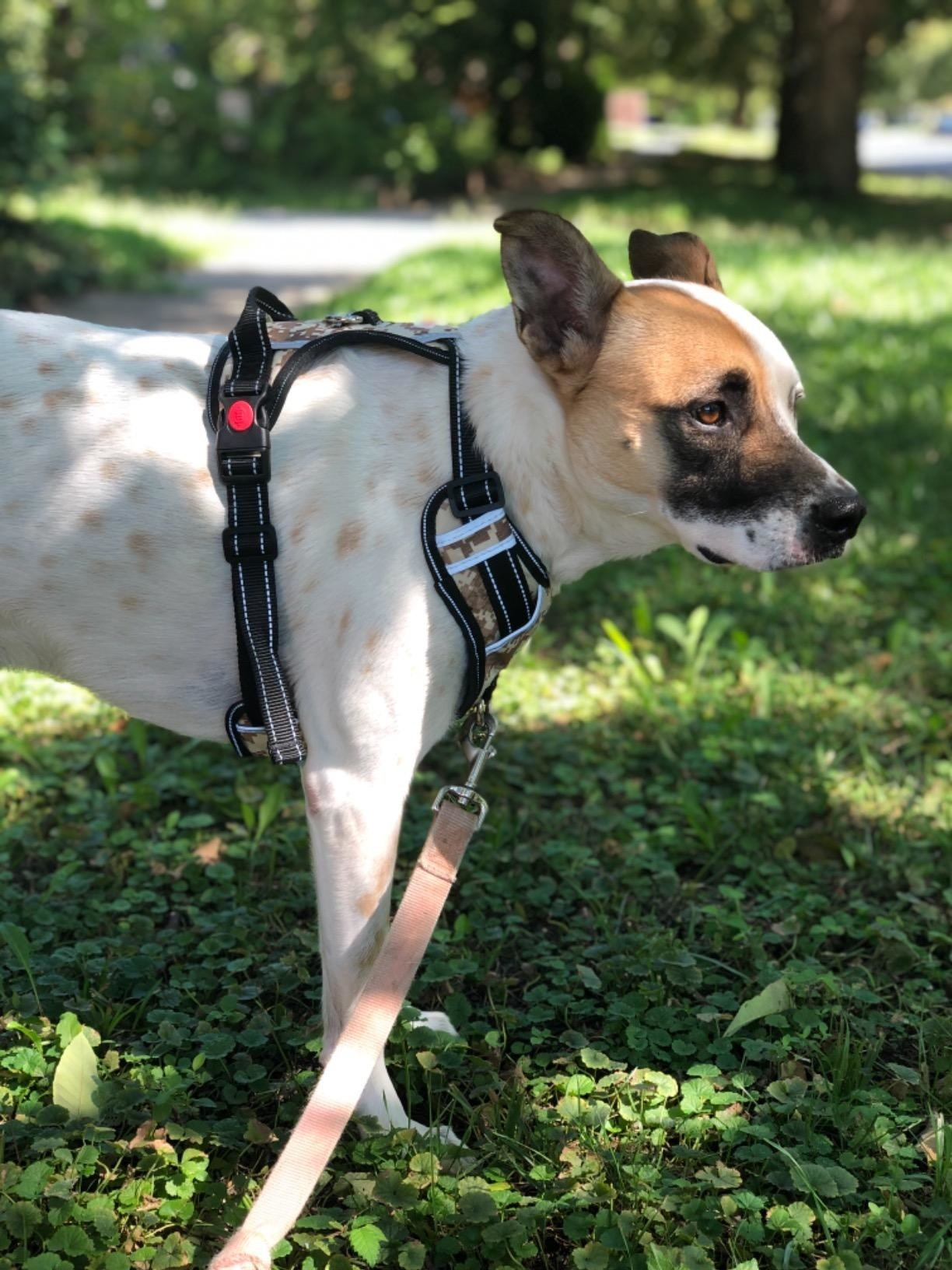 a reviewer's dog wearing the harness which has rings at the back and chest to connect with the leash