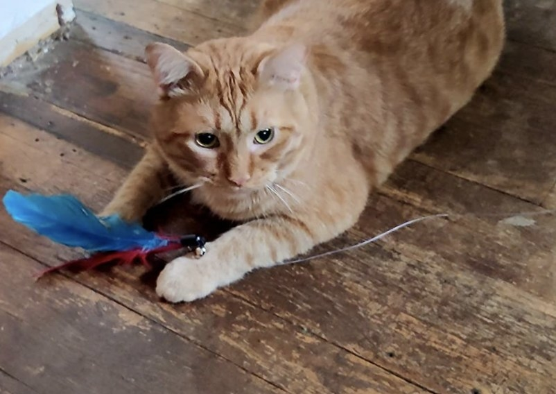 A cat playing with a feather wand