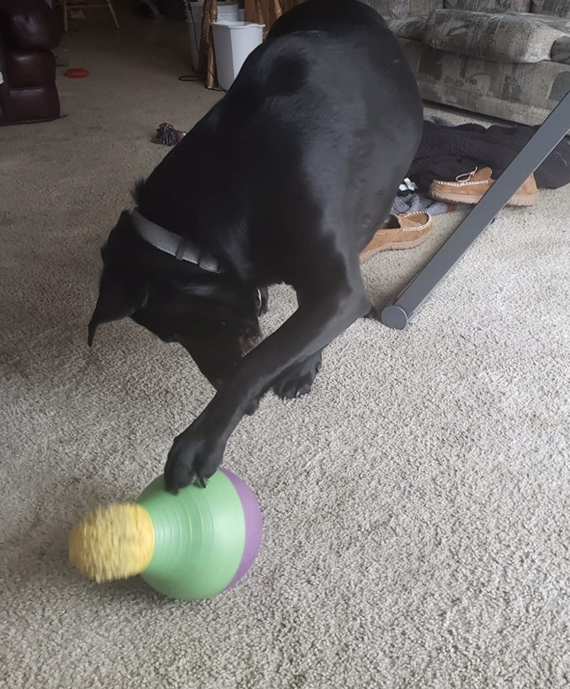 A dog playing with a treat-dispensing toy