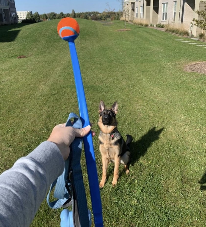 A person is holding a ball launcher while a dog stares at the ball