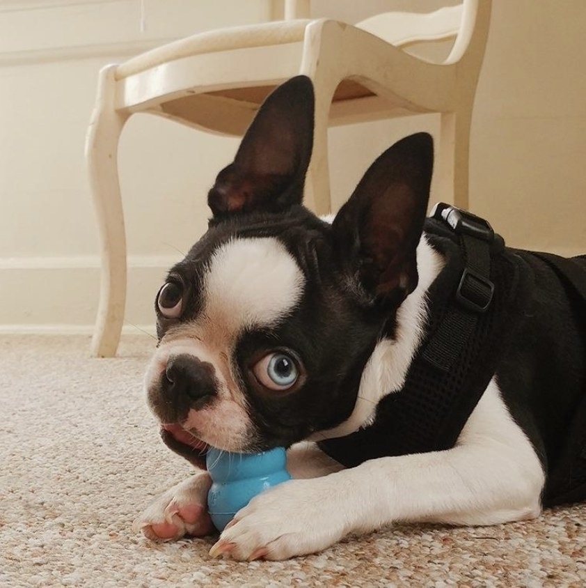 A dog chewing a blue Kong toy