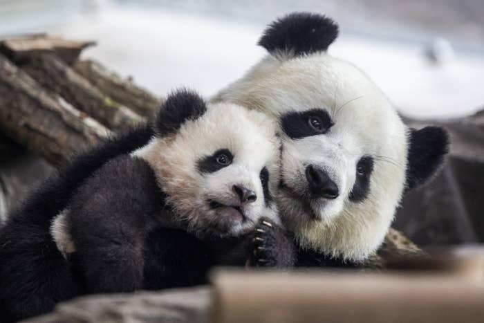 Big panda hugging small panda on top of tree.