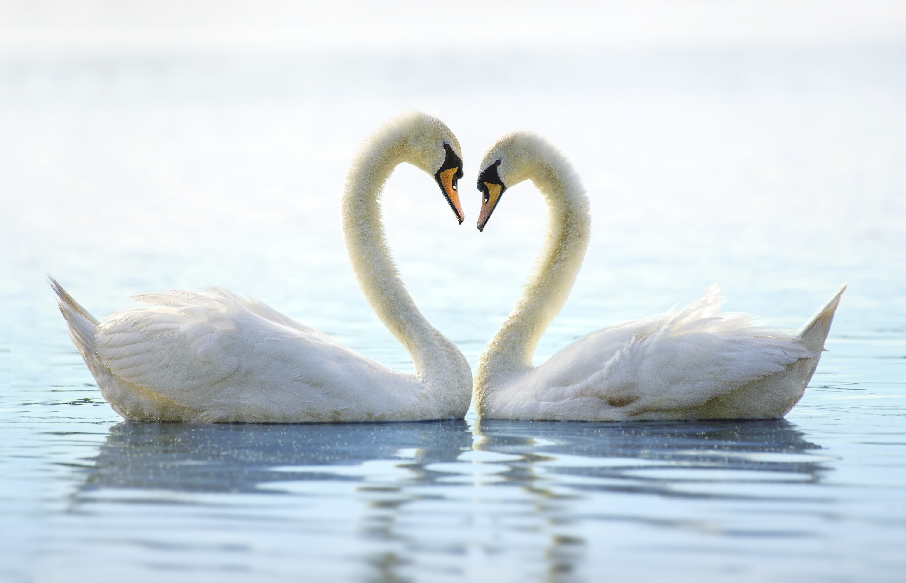 Two swans facing each other with their necks forming a heart