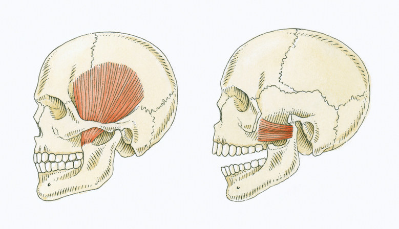 Human skeleton and side profile of the jaw muscles