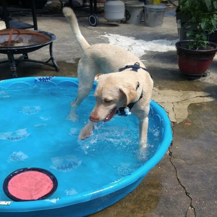 dog in pool with frisbee