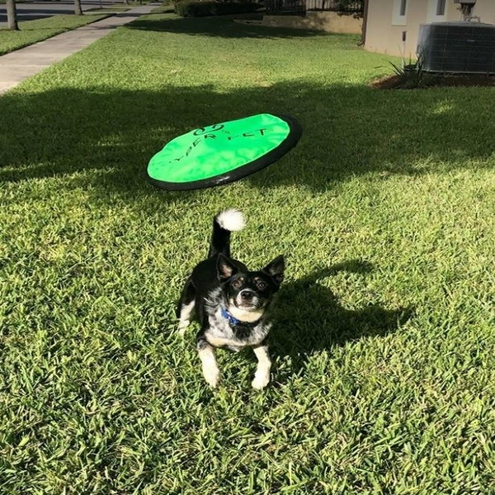 dog in grass with frisbee