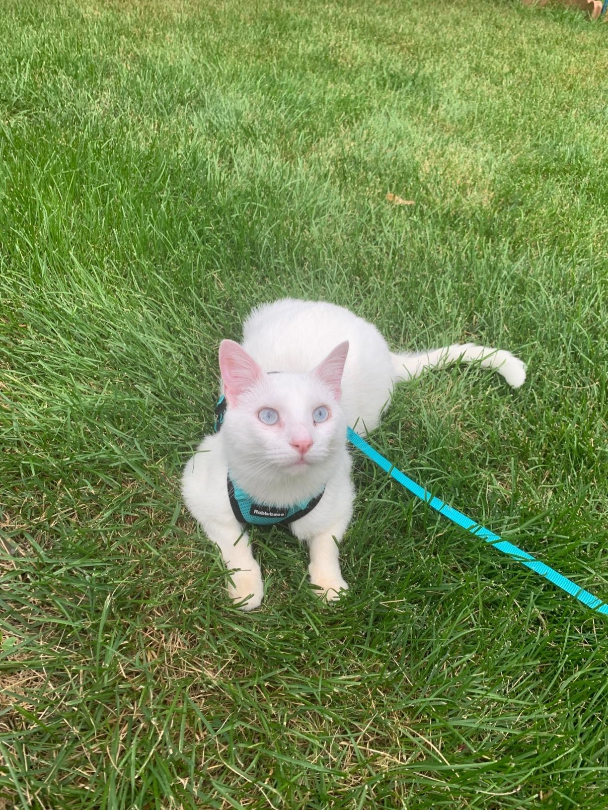 A cat wearing the harness and leash
