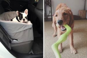 small french bulldog in a car seat on the left and a golden retriever playing tug of war on the right