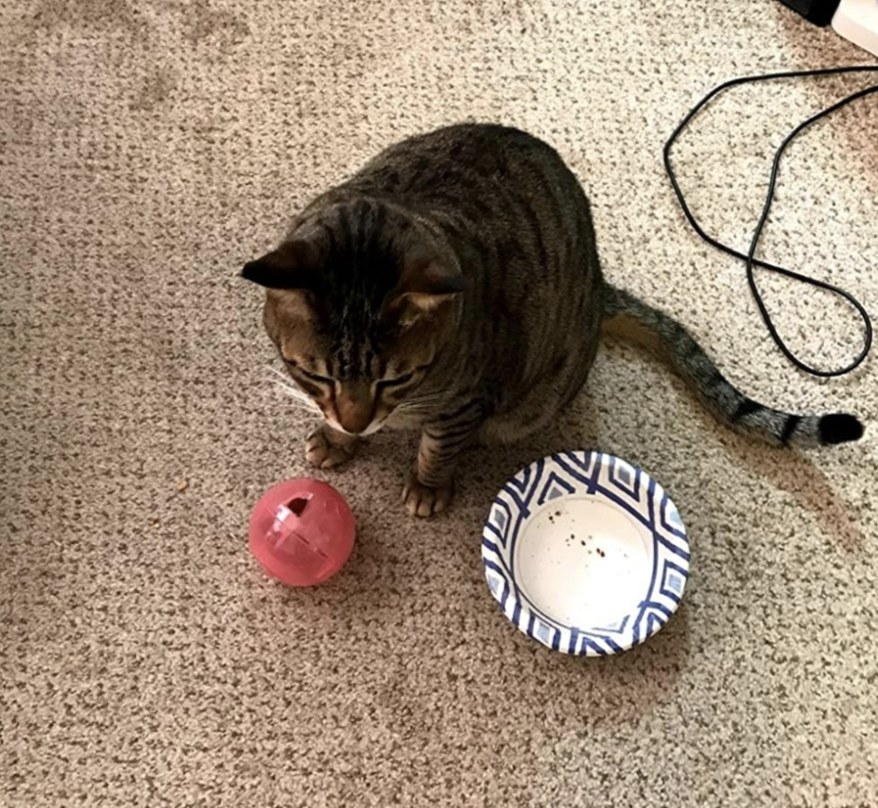 a cat sitting with the toy in front of them