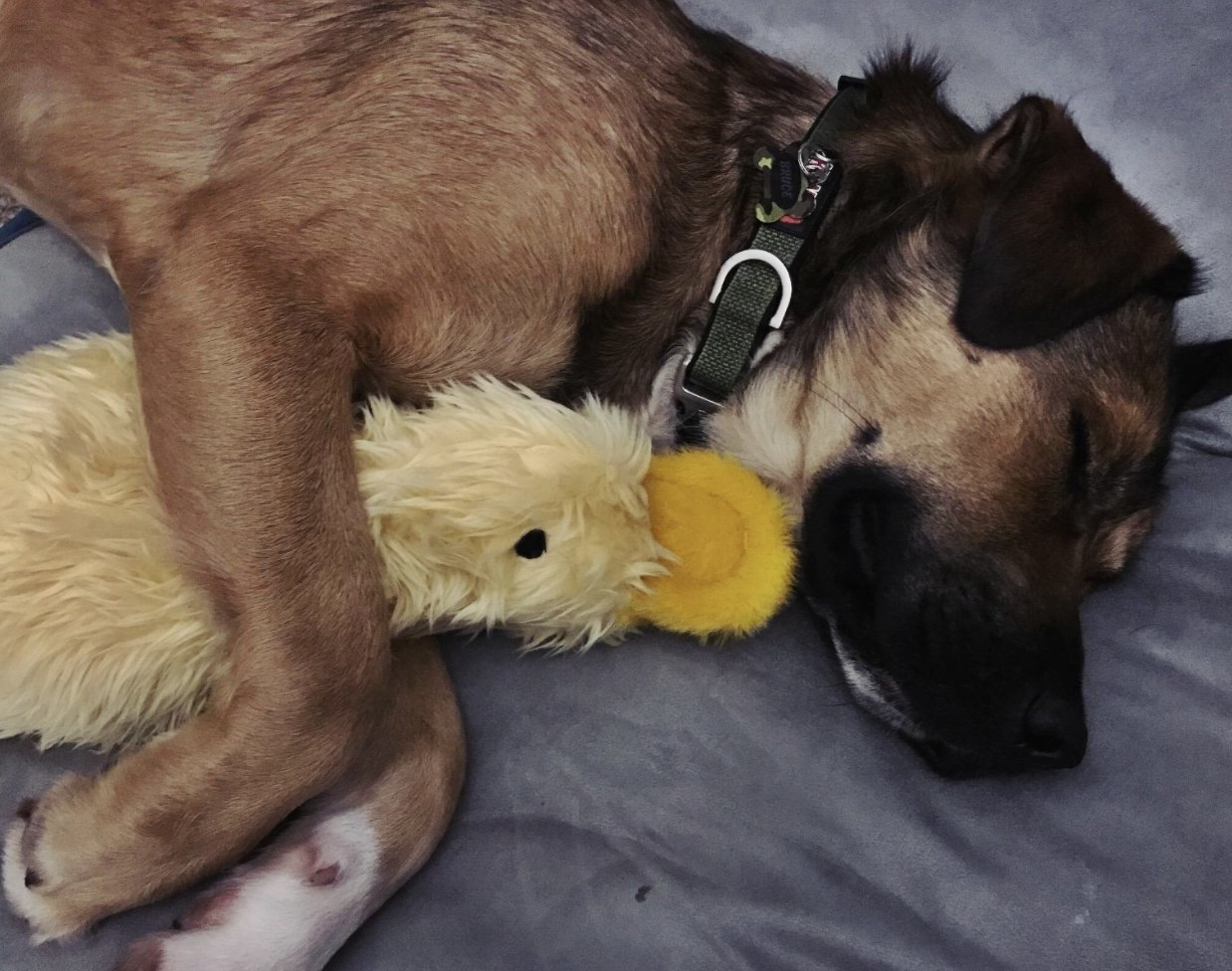 A dog sleeping with a toy duck