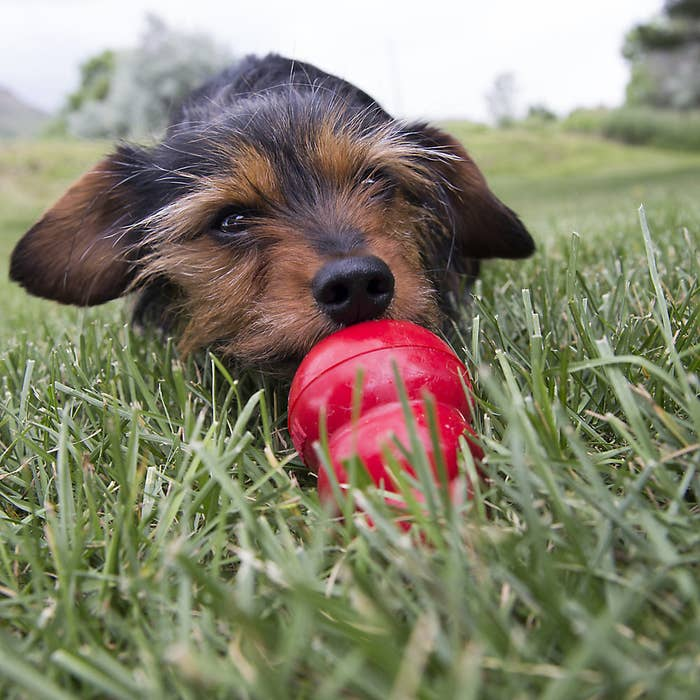 A dog plays with the red toy