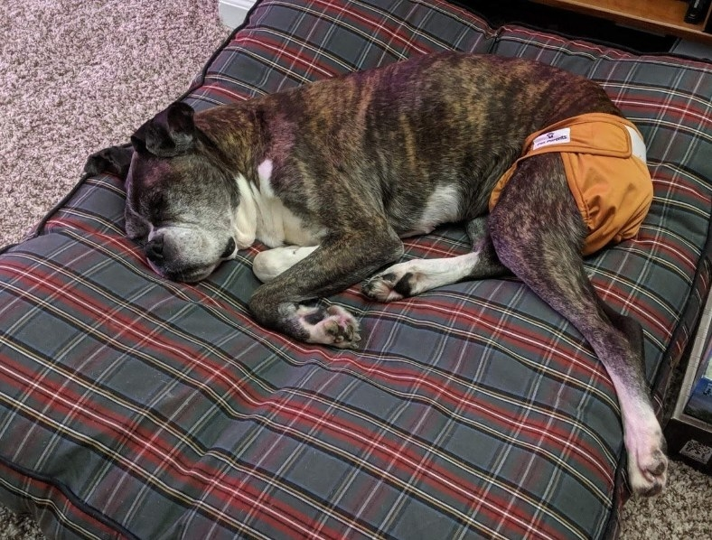 A reviewers boxer lying on a bed, wearing a washable diaper