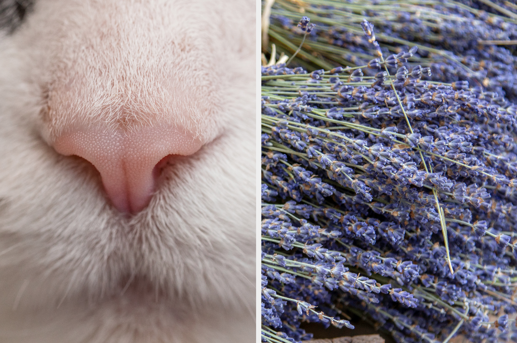 Cat nose and lavender
