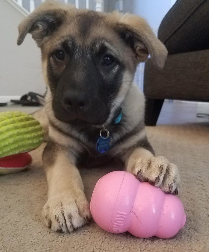 A reviewers puppy playing with the pink Kong toy