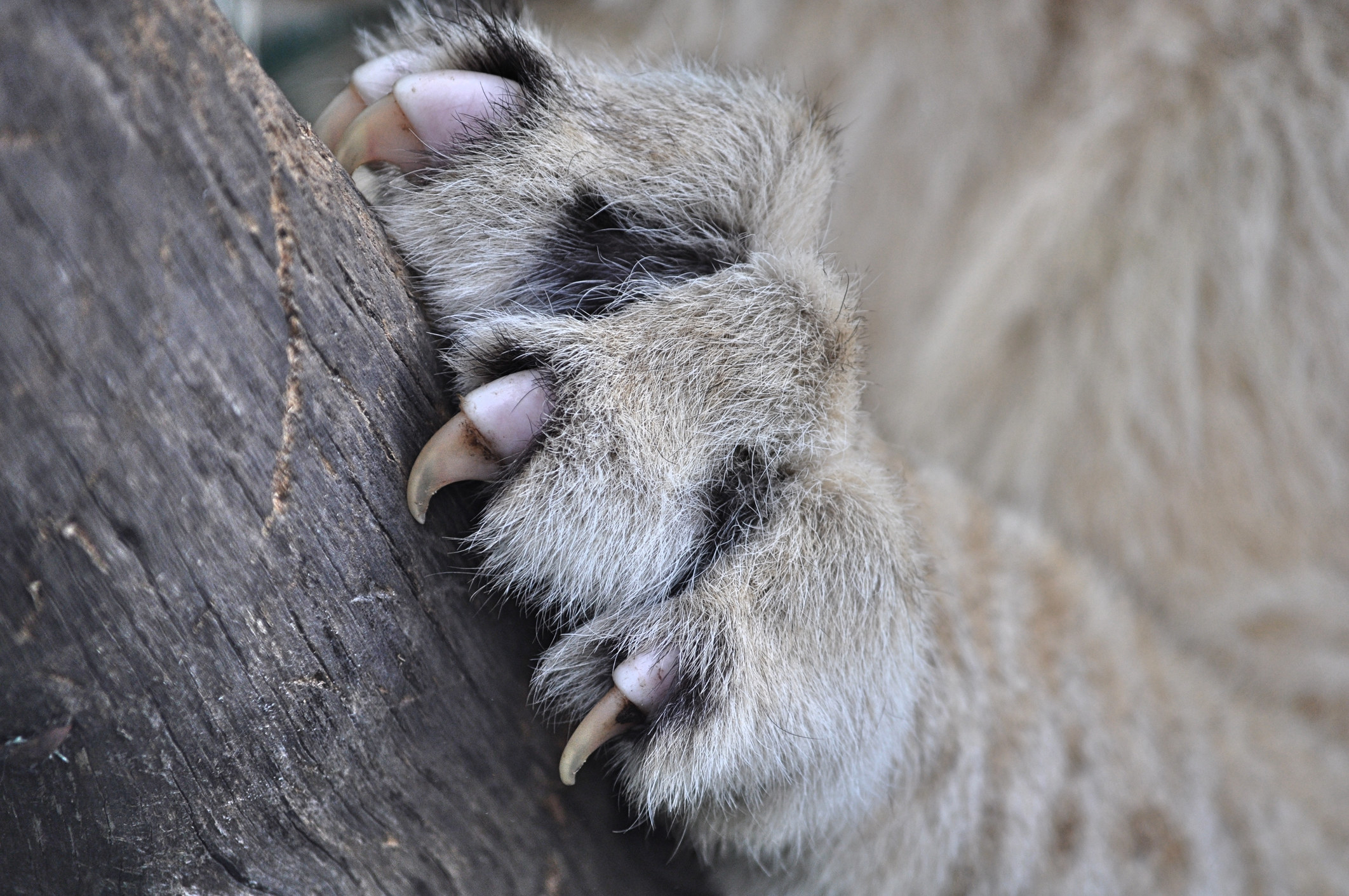 A cat's paw gripping a piece of wood with their sharp claws out