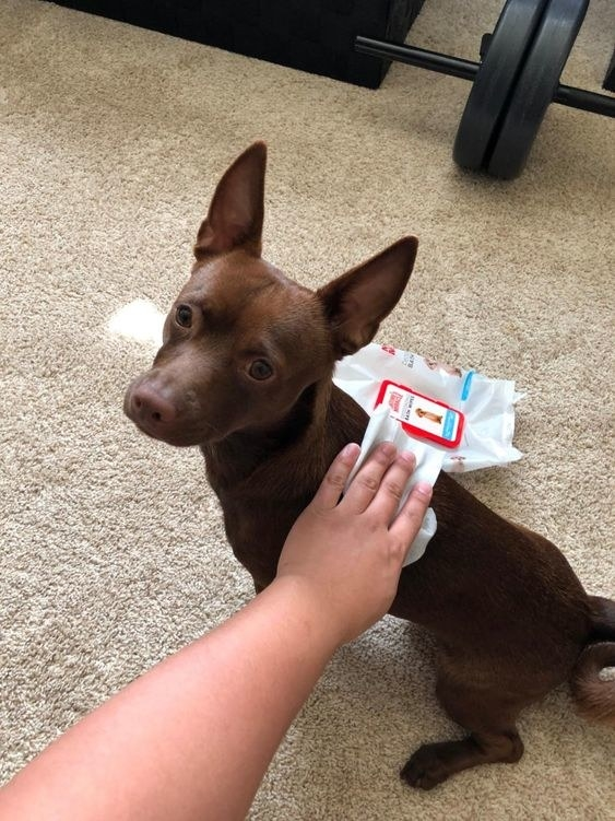 reviewer wiping down small brown dog with wipes