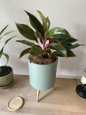 a different reviewer's plant in a teal pot