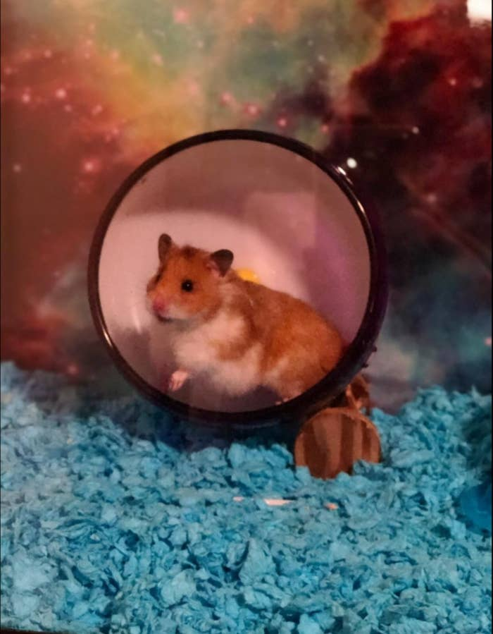A hamster in a wheel with a cage full of soft blue bedding