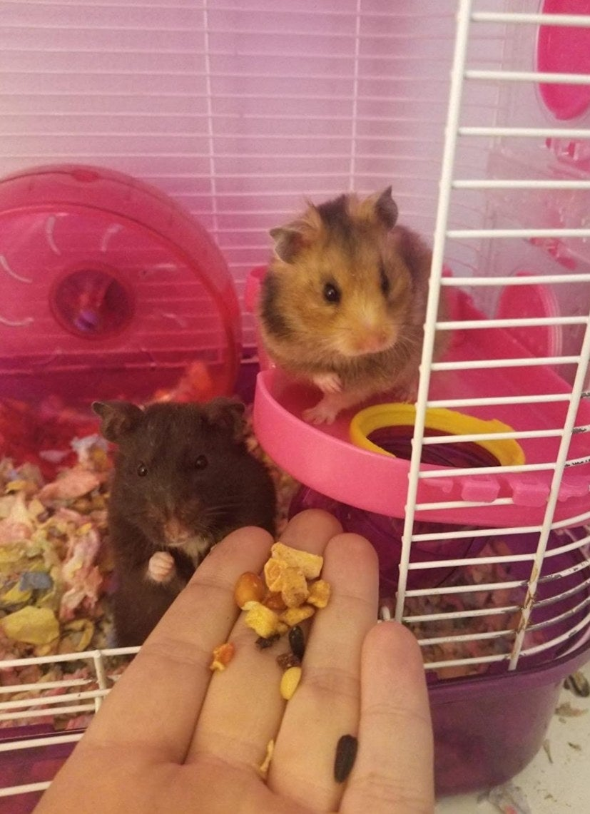 Two hamsters being fed the Wild Harvest food
