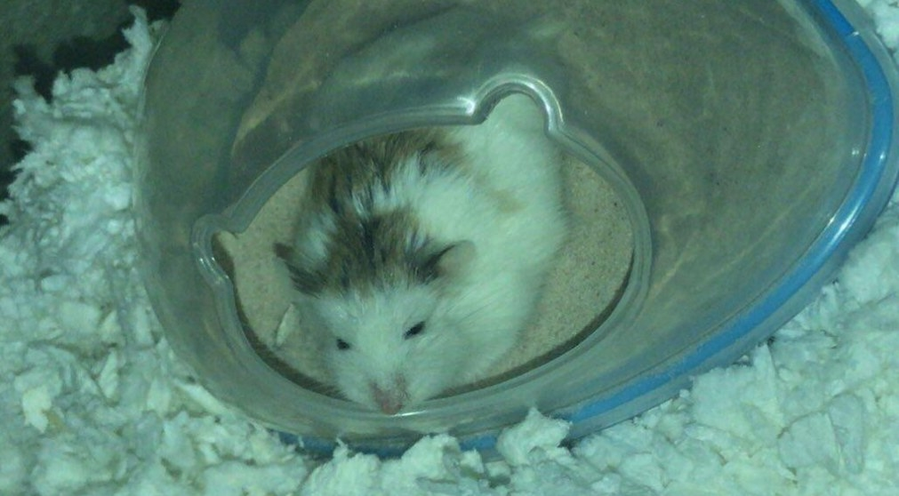 A hamster relaxing in its sand bath