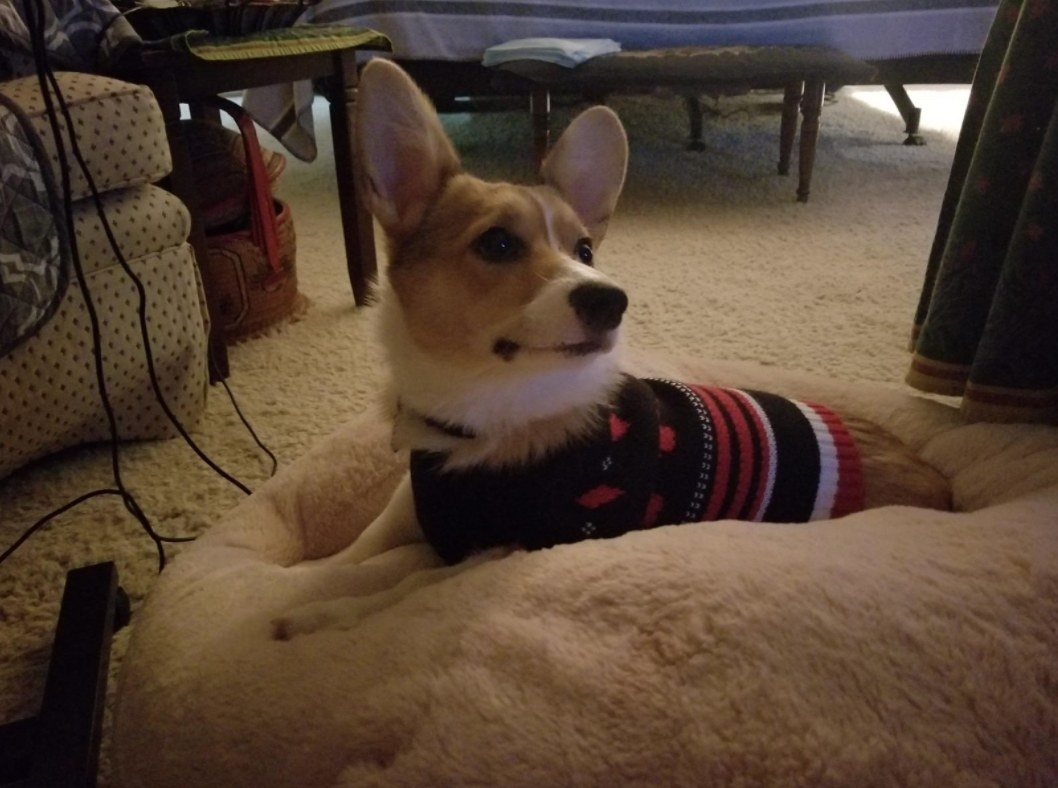REviewer Photo: Corgi on bed