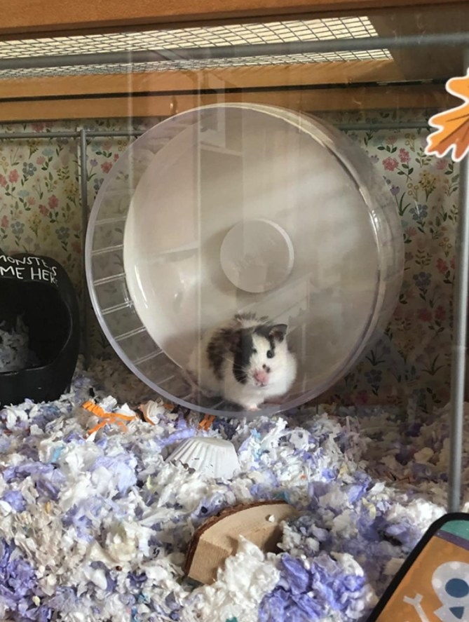 A hamster running on the wheel