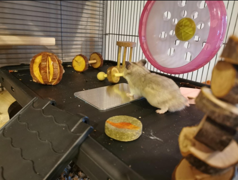 A hamster playing with several of the wooden toys