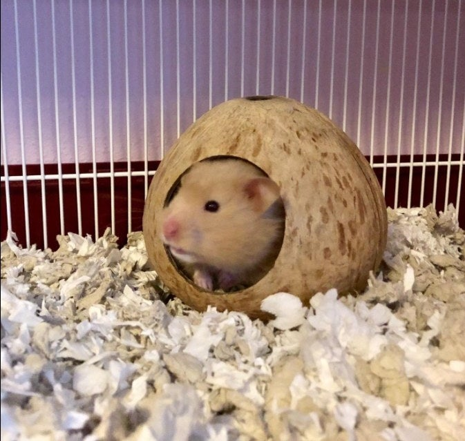 A hamster inside the small coconut hut