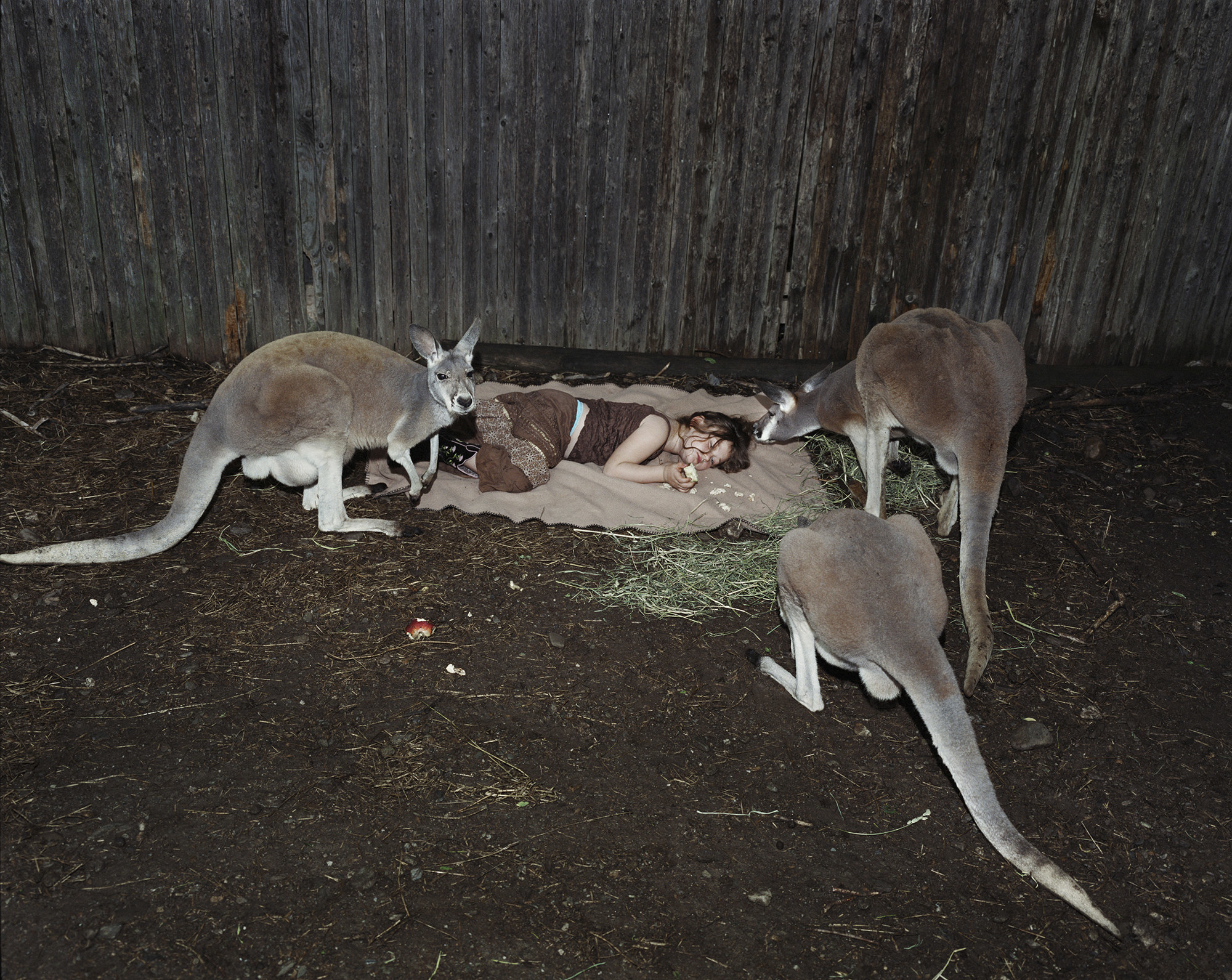Three kangaroos stand around a blanket where a young girl is lying down