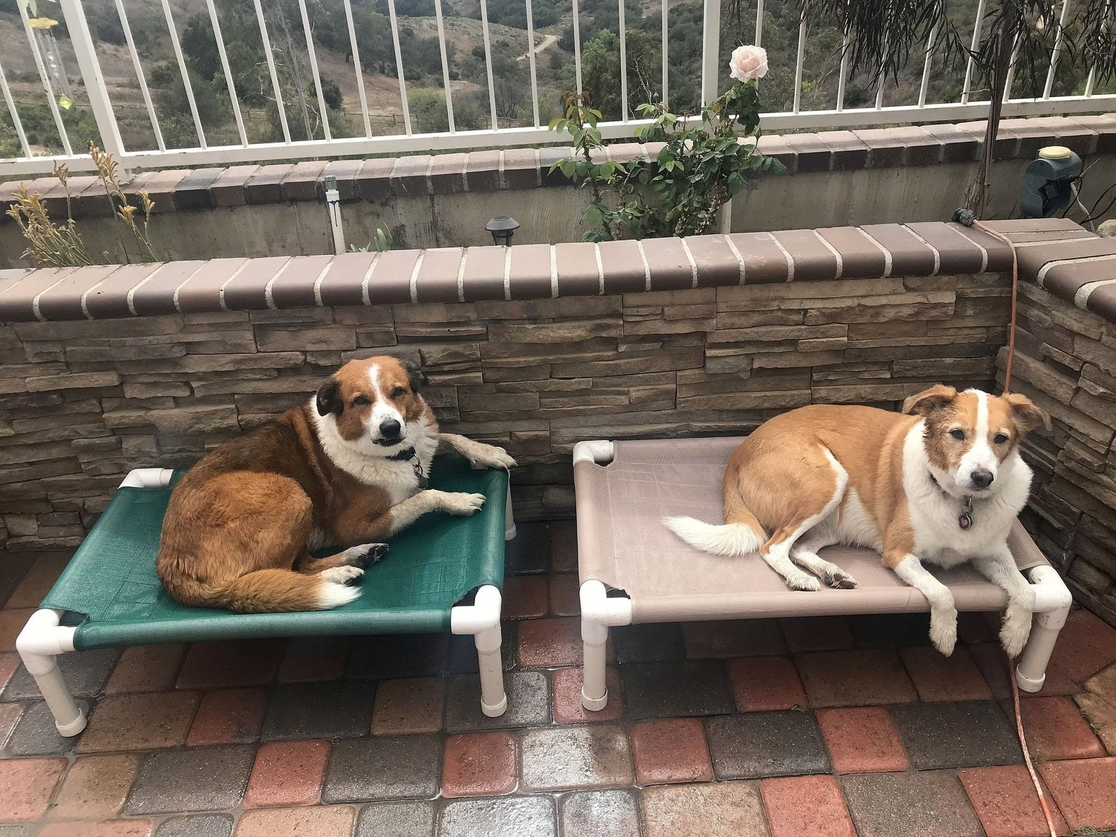two dogs sitting on elevated dog beds on a patio