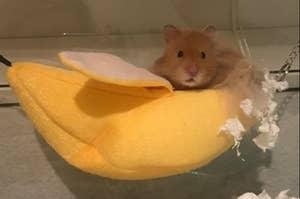 A cute hamster nuzzling inside of the banana hammock