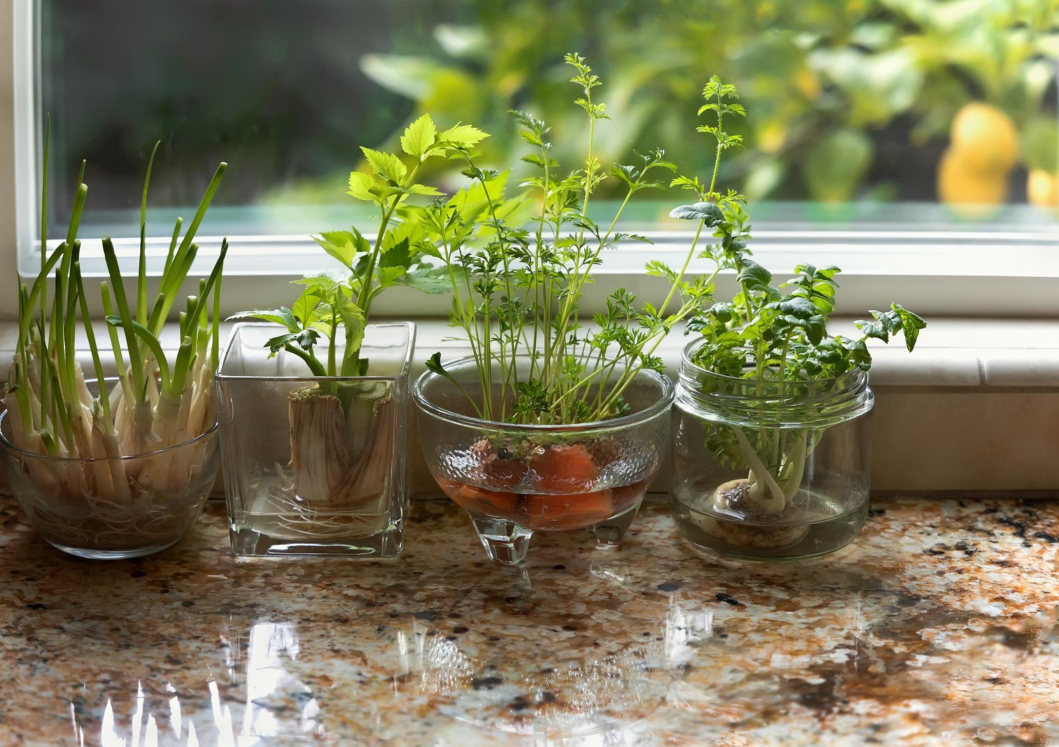 Herbs growing on countertop