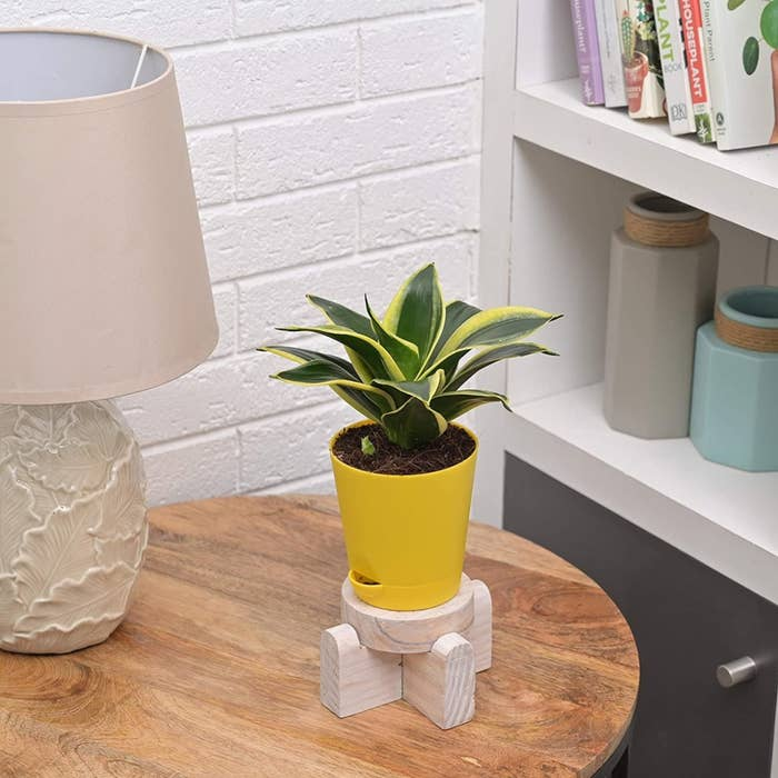 A small bushy snake plant in a cute yellow planter