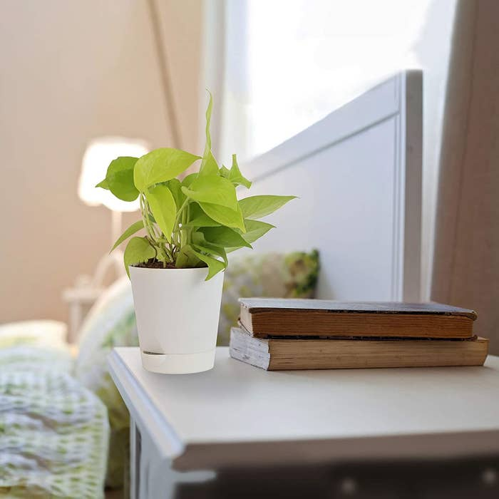 A cute golden-green money plant sitting atop a bedside table in a white planter