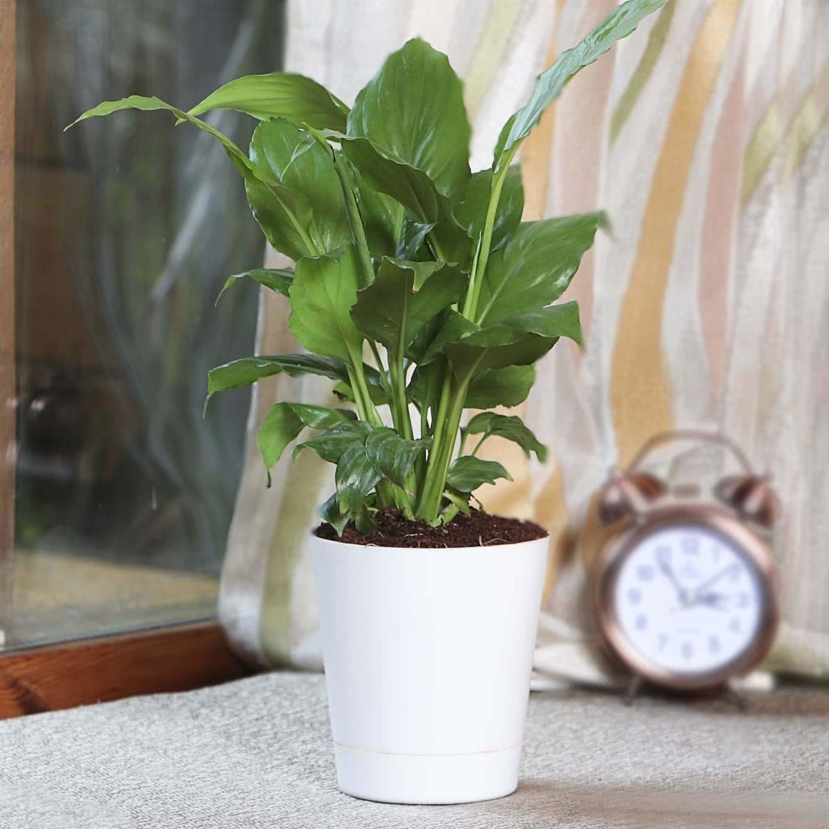 A peace lily plant in a white planter