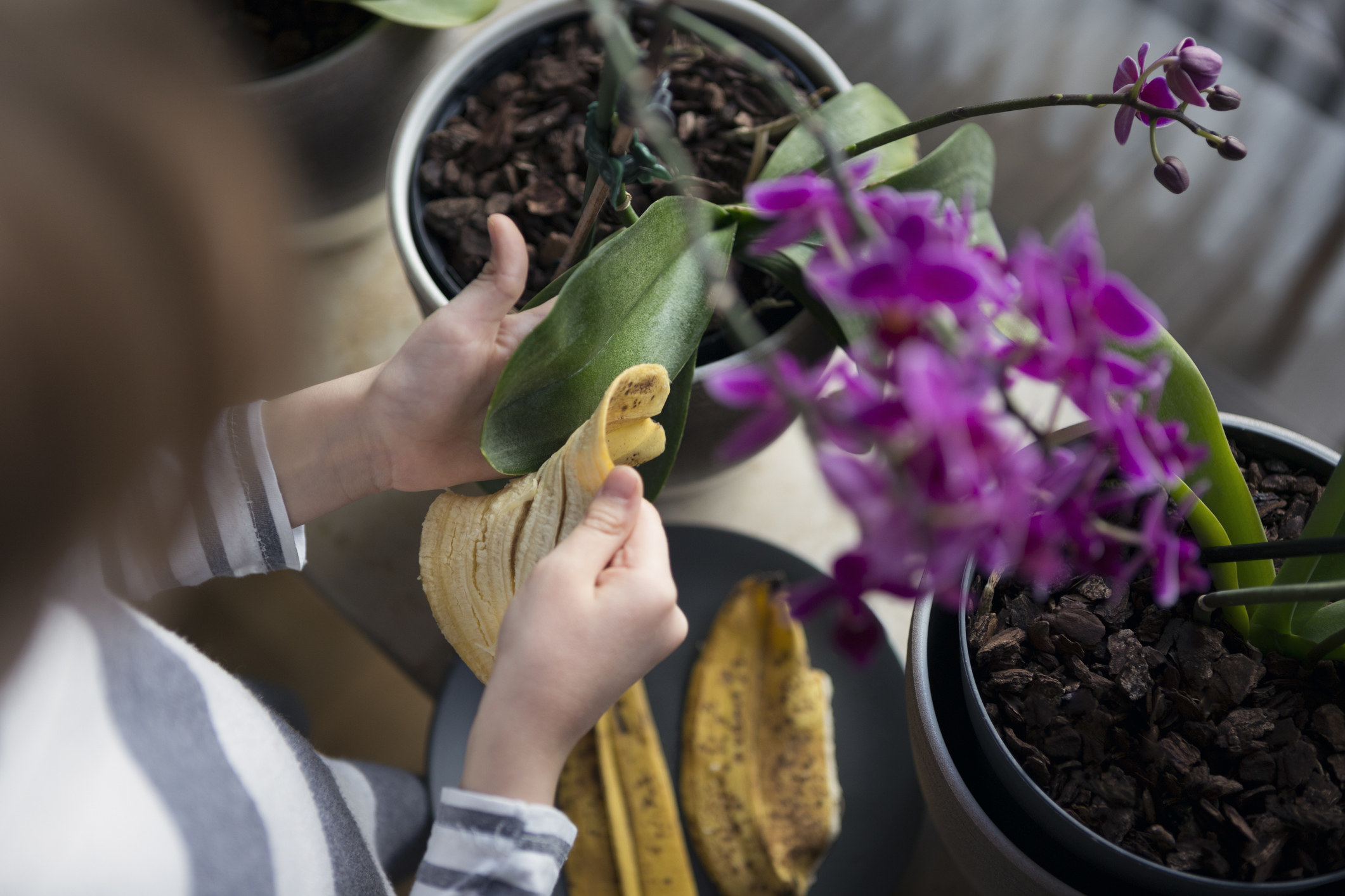 model wipes down orchid leaf with banana peel