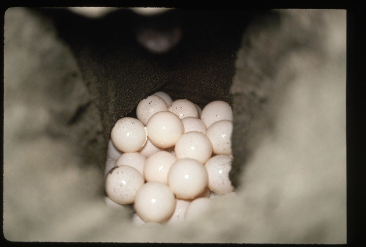 A sea turtle's nest filled with eggs