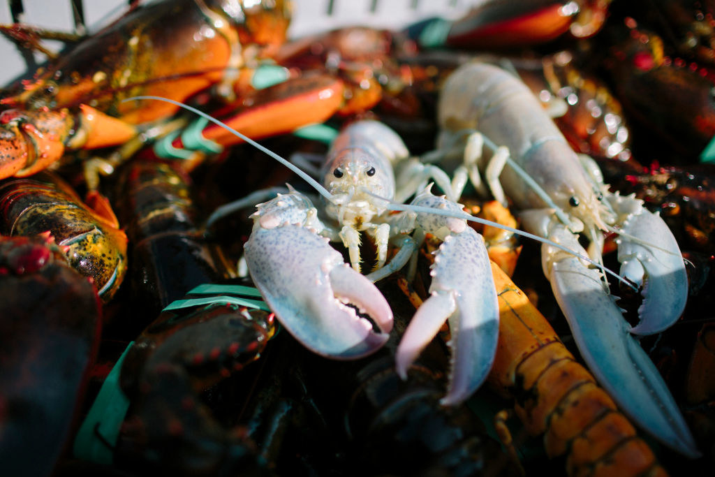 Two albino lobsters sitting on a pile of regular lobsters