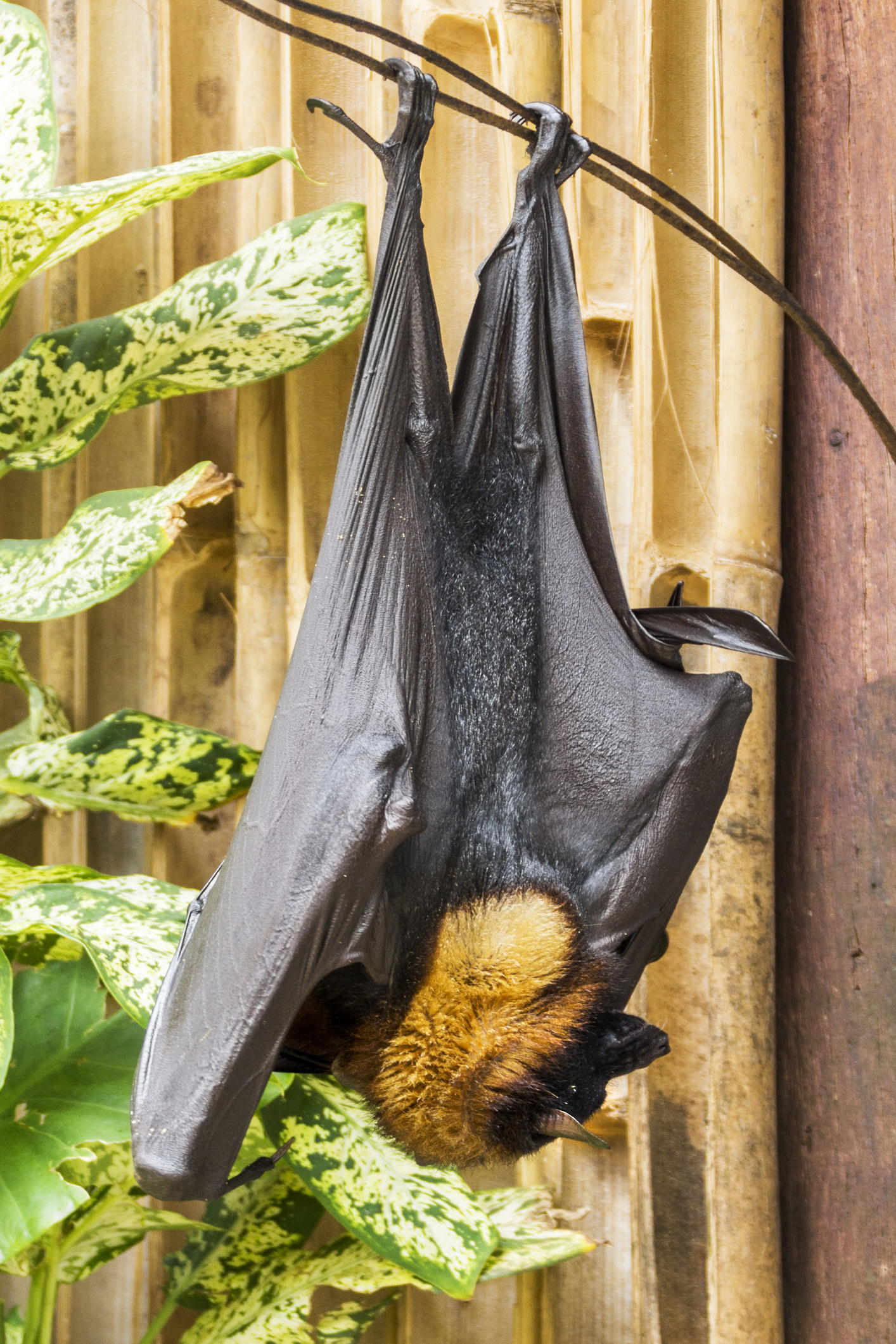A giant golden-crowned flying fox hanging upside down