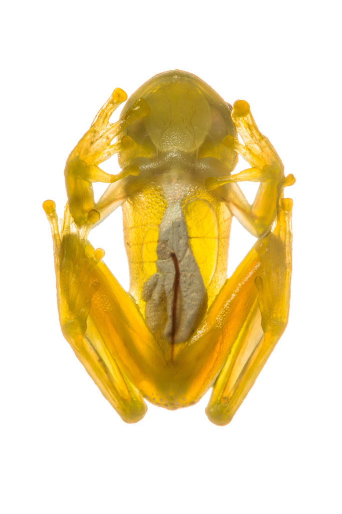 The underside of a glass frog — its organs are visible