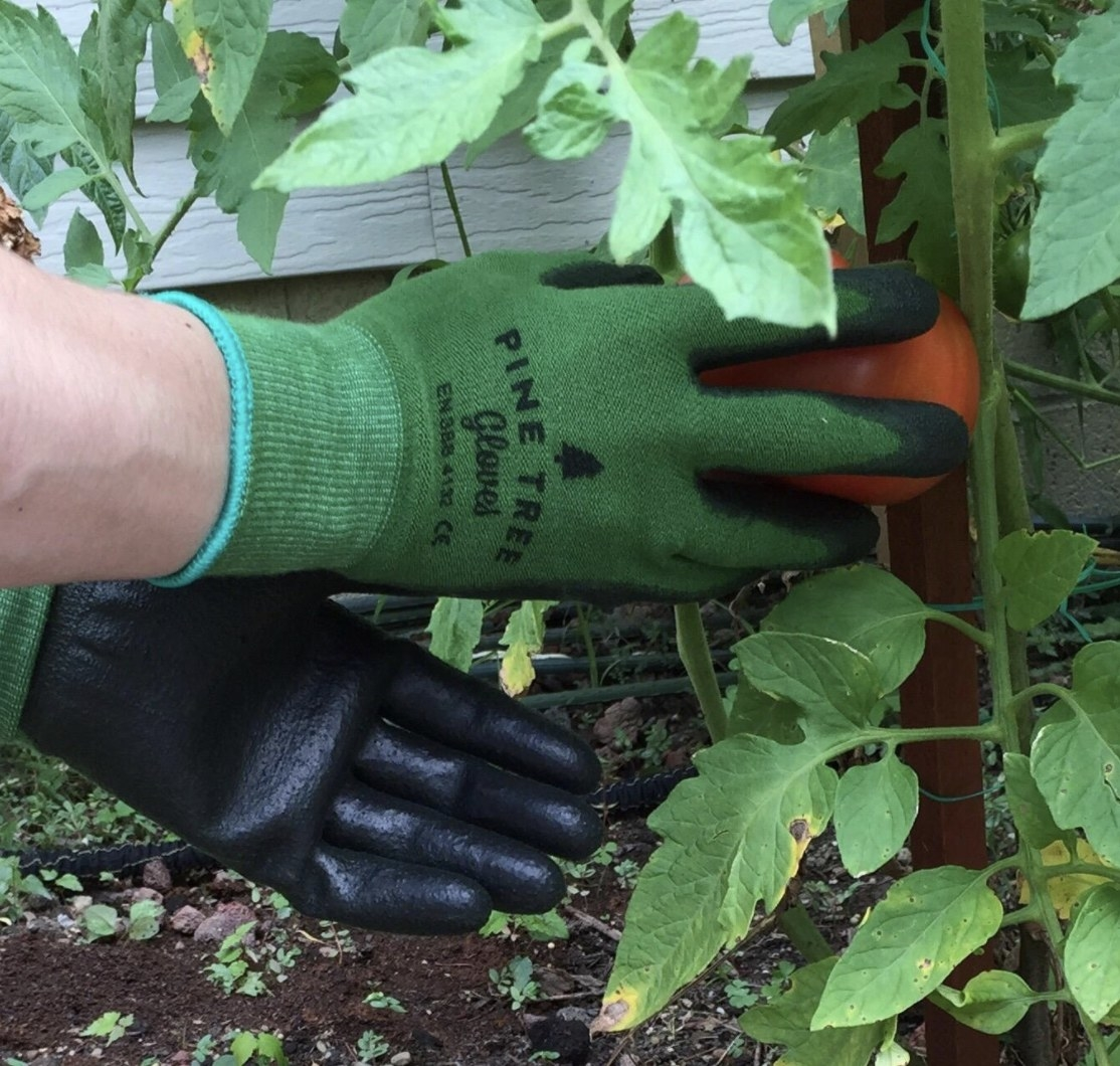 a person using gardening gloves to pick a tomato