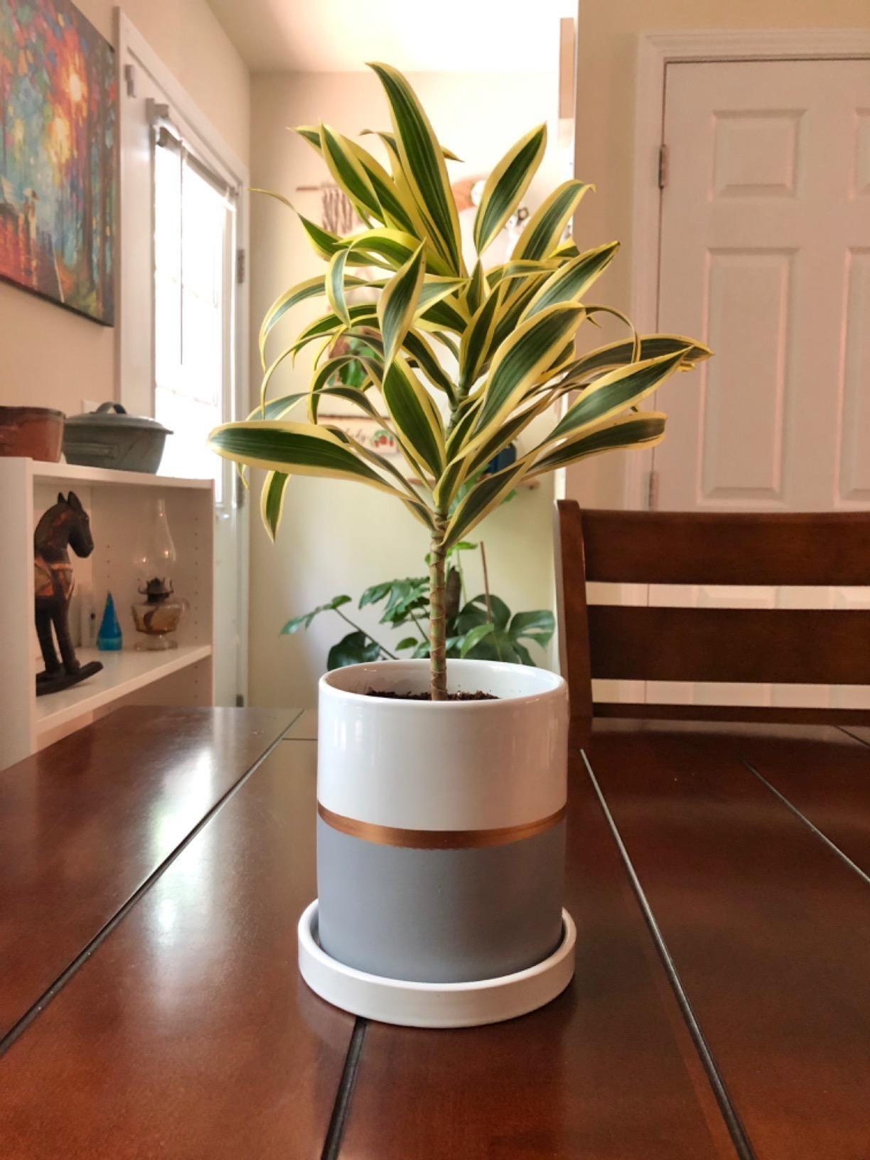 在中间有金条纹的植物持有小植物