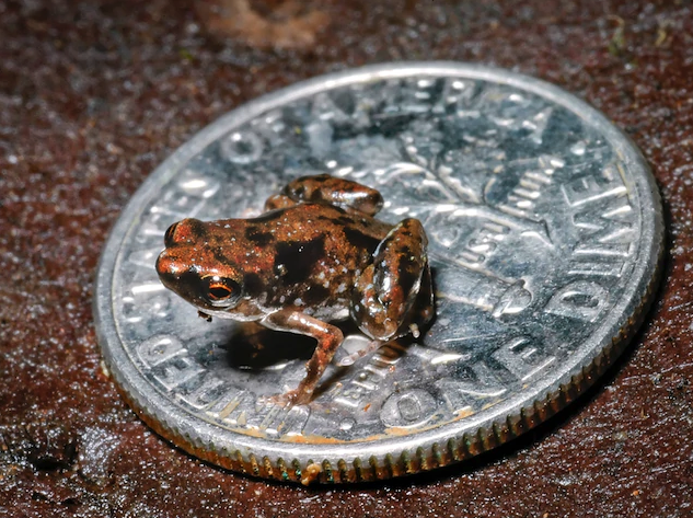 A very small frog sitting on a dime