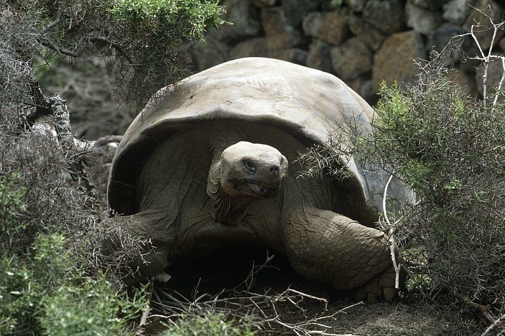AGalápagos tortoise