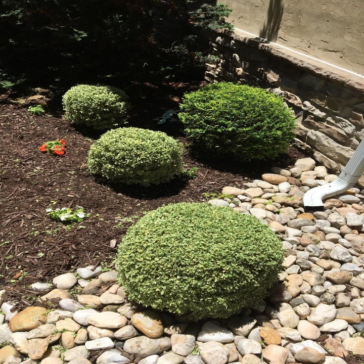 a reviewer photo of several small spherical shrubs