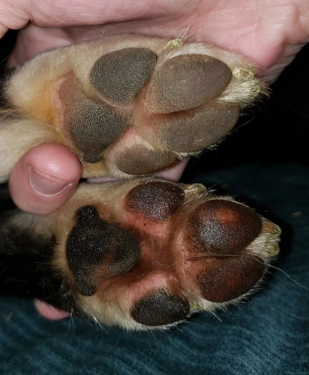 two paws, one looking cracked and dry, the other look hydrated and smooth