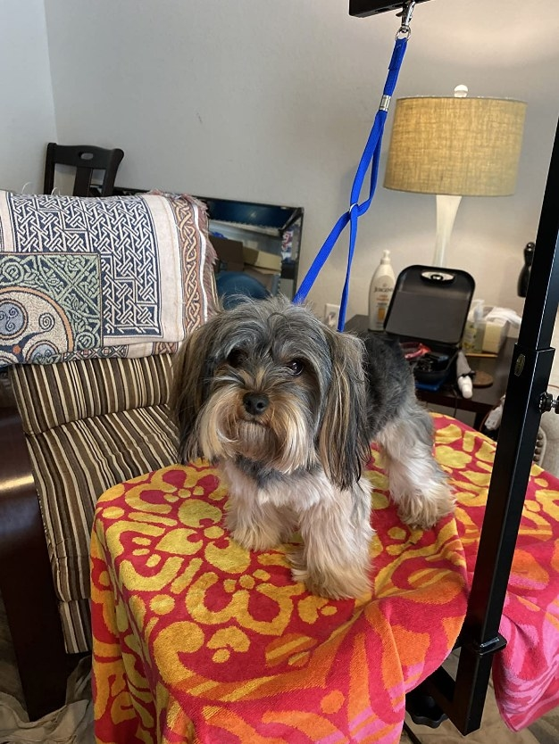 Dog on table connected to haunch holder grooming arm